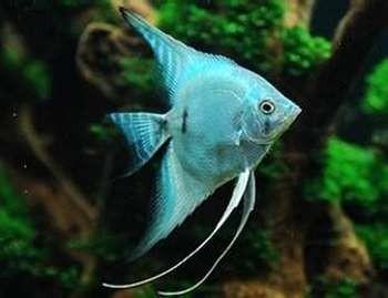 Голубая скалярия