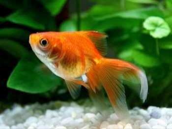Маленькая золотая рыбка