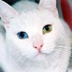 Белый кот с разноцветными глазами