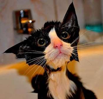 Черно-белый мокрый кот