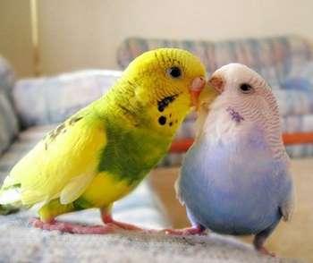 Два волнистых попугая на диване