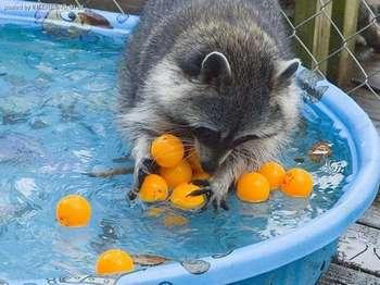 Енот в бассейне моет мандарины