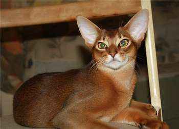 Абиссинская кошка на стуле