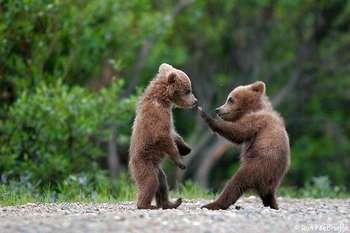 Два медвежонка боксируют