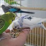 Два волнистых попугайчика едят