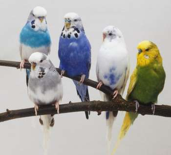 Пять волнистых попугаев