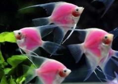 Розовые скалярии