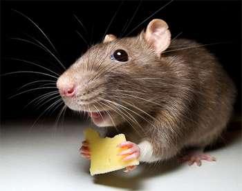Серая крыска с сыром в лапках