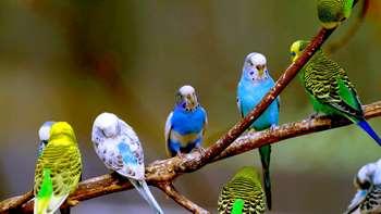 Волнистые попугаи на веточке