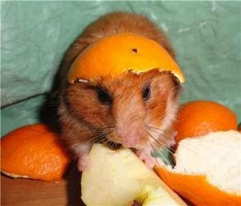 Джунгарский хомяк в апельсиновых корках