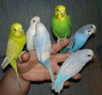 Шесть волнистых попугаев сидят на одной руке