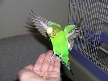 Волнистик машет крыльями
