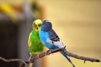 Два волнистых попугая на ветке