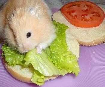 Джунгарский хомяк ест бутерброд