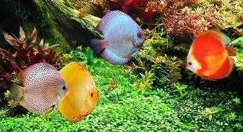 Дискусы плавают в аквариуме