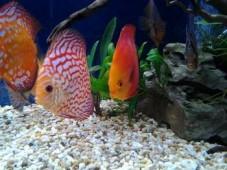 Дискусы в кучке в аквариуме