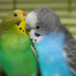 Два волнистых попугая целуются