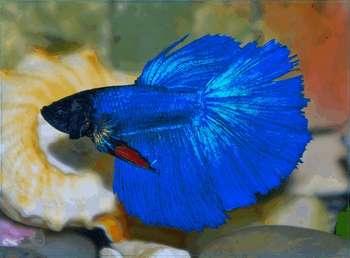 Голубая рыбка петушок