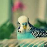Голубой волнистый попугай