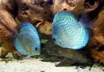 Голубые дискусы в аквариуме
