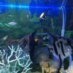 Темные скалярии в аквариуме