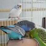 Три волнистых попугая едят из кормушки