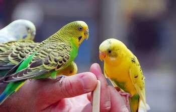 Волнистые попугаи на руке