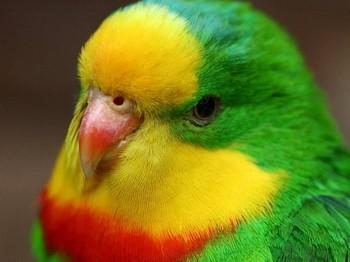 Ярко-зеленый волнистый попугай