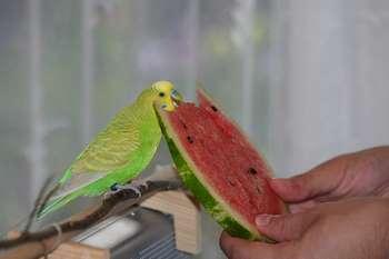 Зеленый волнистый попугай ест арбуз