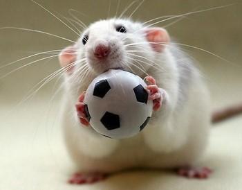 Декоративная крыса с мячиком