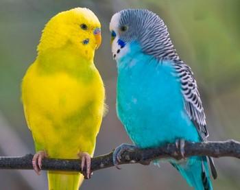 Два попугая смотрят друг на друга