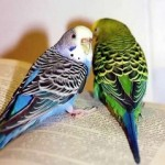 Два волнистых попугая сидят ни открытой книге