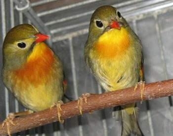Две декоративные птицы в клетке