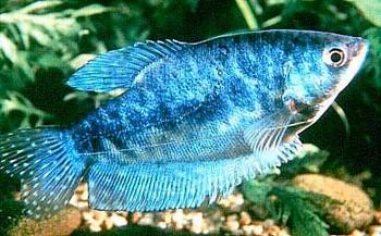 Голубая гурами