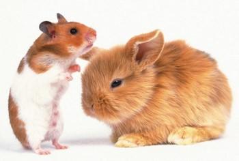 Кролик и морская свинка