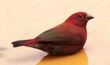 Маленькая красная птичка амарант