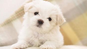 Маленький белый щенок