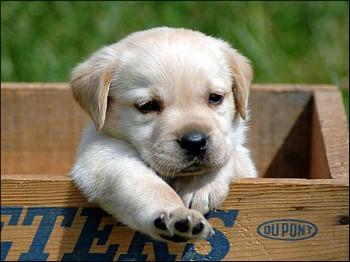 Маленький щенок в коробке