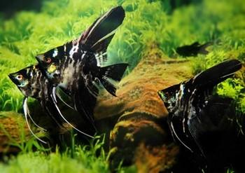 Темные аквариумные скалярии