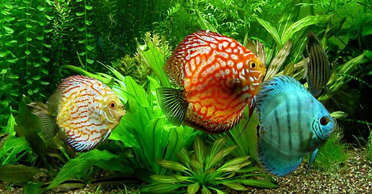 Три аквариумных дискуса