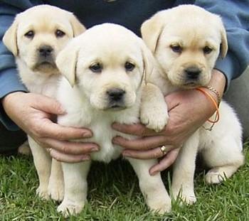 Три щенка лабрадора