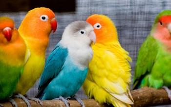 Яркие маленькие попугаи