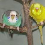 Два волнистый попугая сидят на веточке дома