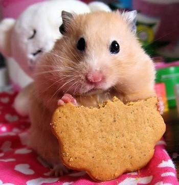 Хомячок ест печенье