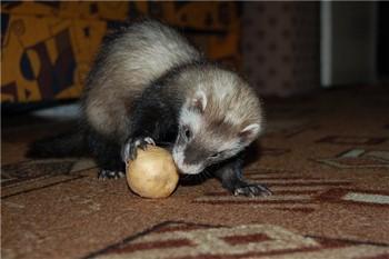 Хорек играет с луковицей