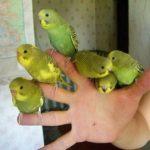 Шесть волнистых попугаев сидят на руке