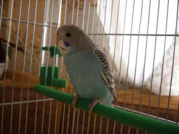 Волнистый попугай в клетке