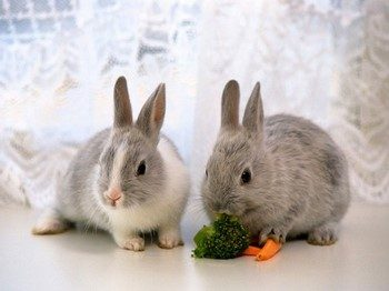 Два кролика рядом с морковкой