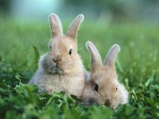 Два серых кролика в травке сидят