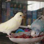 Два волнистый попугая едят из тарелки